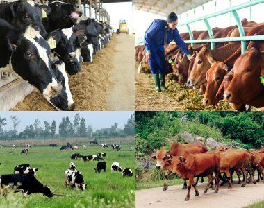 Công thức thức ăn cho bò