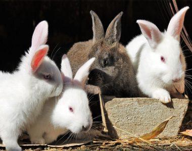 Nhu cầu dinh dưỡng của thỏ